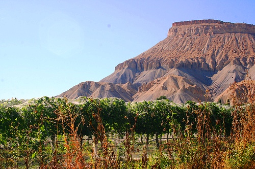 Palisade Orchard with Mt. Garfield in the background