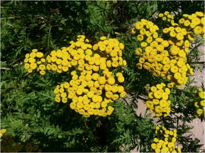 Common Tansy Close Up of Flowers