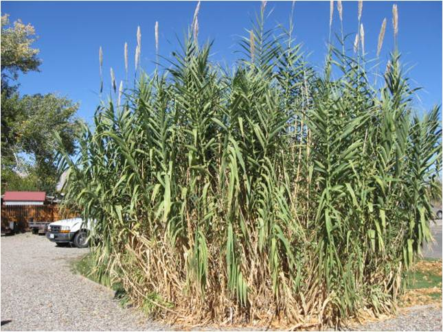 Giant Reed Patch of Plants
