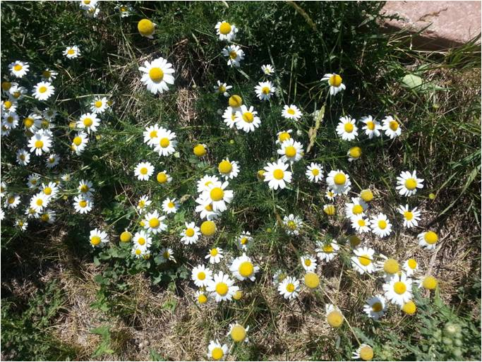Scentless Chamomile Flowers