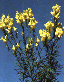 Yellow Toadflax Plant
